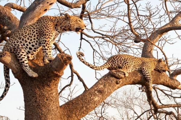Leopardos sobre las ramas de un árbol