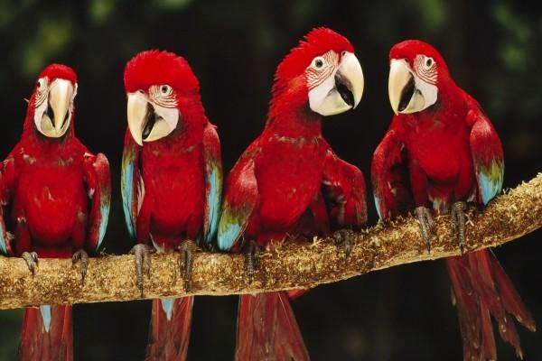 Cuatro guacamayos rojos sobre una rama