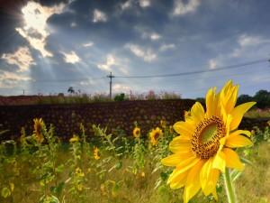 Postal: Girasoles recibiendo la escasa luz del sol