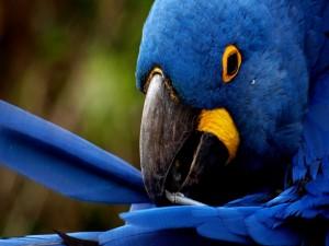 Postal: Loro azul con una pluma rota