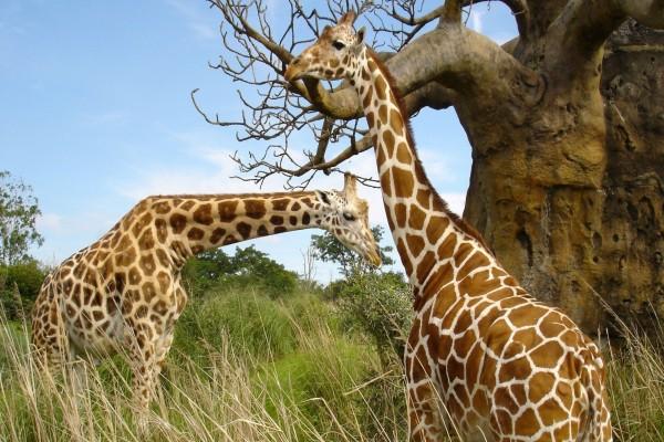 Dos jirafas junto a un árbol