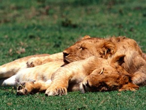 Leonas dormidas sobre la hierba