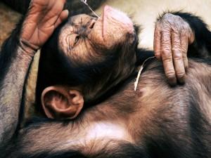 Postal: Un chimpancé descansando
