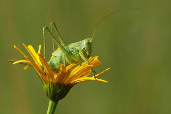 Impresionante saltamontes posado sobre una flor