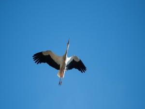 Postal: Cigüeña volando en un cielo azul