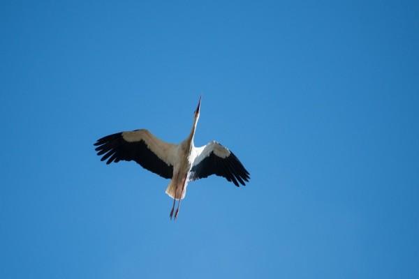 Cigüeña volando en un cielo azul