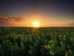 Puesta de sol en un campo sembrado con girasoles