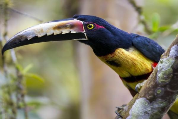 Un colorido tucán sobre una rama