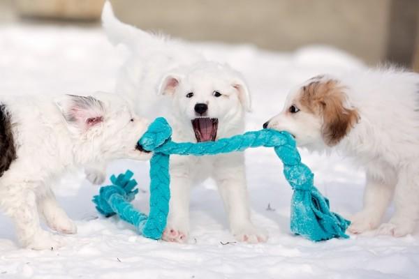 Traviesos perritos blancos divirtiéndose en la nieve