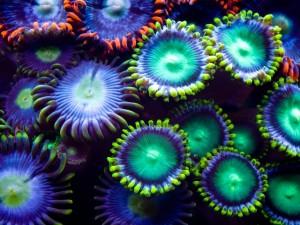 Zoanthus (corales blandos)