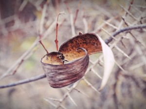 Postal: Vaina seca en la rama de un arbusto