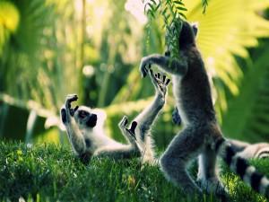Postal: Dos lémures peleando