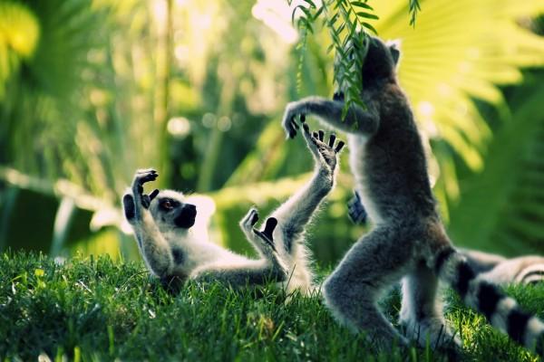 Dos lémures peleando