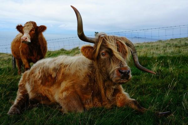 Vaca con el cuerno torcido