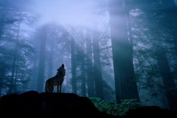 Un lobo aullando en el interior del bosque