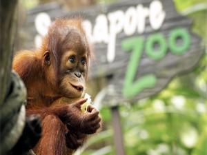 Pequeño orangután en un zoo
