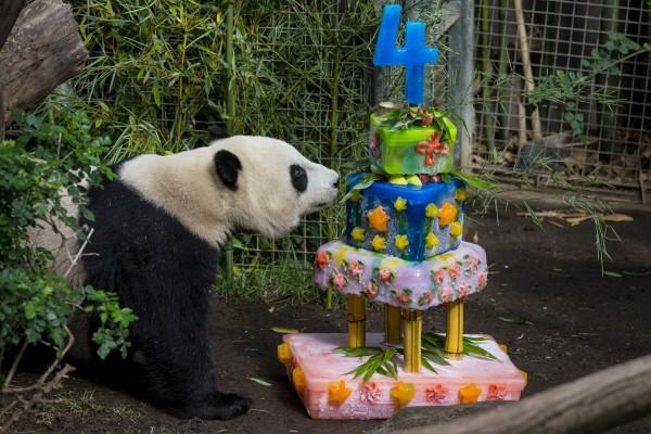 Oso panda junto a su gran tarta de cumpleaños
