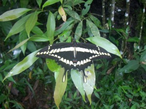 Postal: Mariposa posada en una hoja (Cataratas del Iguazú)