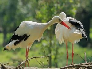 Un par cigüeñas blancas (Ciconia ciconia)