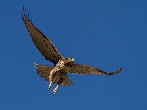 Un halcón en pleno vuelo