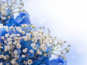 Postal: Hortensias azules y pequeñas flores blancas