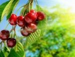 Exquisitas cerezas madurando en el árbol