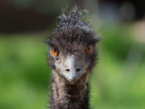 La cara de un emú común (Dromaius novaehollandiae)