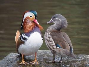 Postal: Pareja de pato mandarín (Aix galericulata)