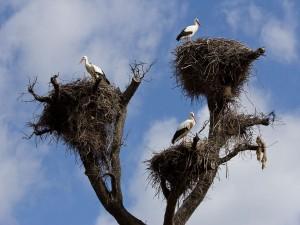 Postal: Cigüeñas blancas sobre sus nidos