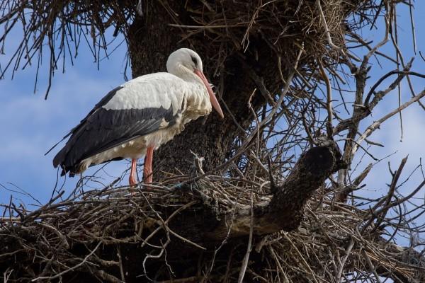 Cigüeña blanca entre las ramas secas de un árbol