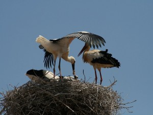 Cigüeña alimentando a su polluelo
