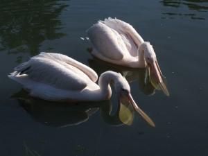 Postal: Pelícanos en el agua