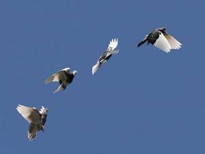 Palomas en vuelo mostrando diferentes fases de movimiento