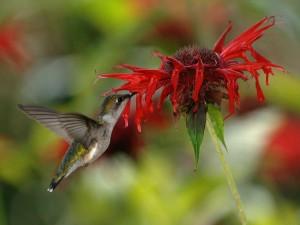 Hembra colibrí garganta rubí bebiendo el néctar de una flor