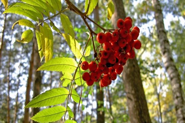 Bayas rojas en la rama de un árbol