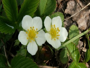 Postal: Dos flores blancas en la planta