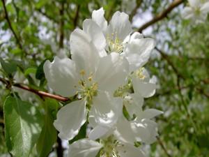 Hermosas flores blancas en la rama de un árbol