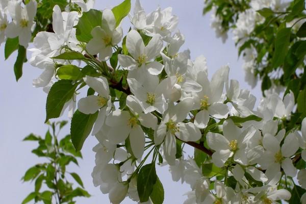 Rama cubierta de flores blancas y hojas