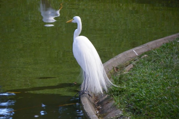 Garza blanca junto al agua