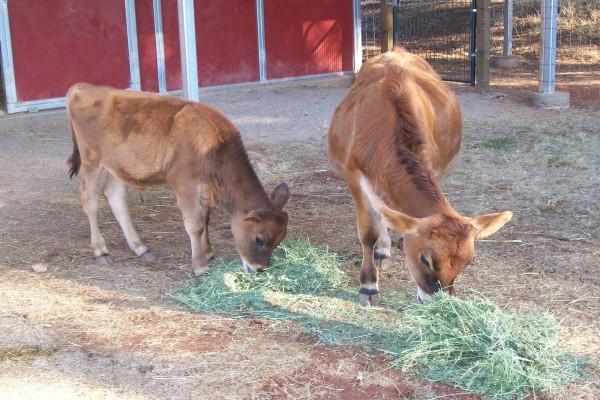 Dos terneros comiendo hierba