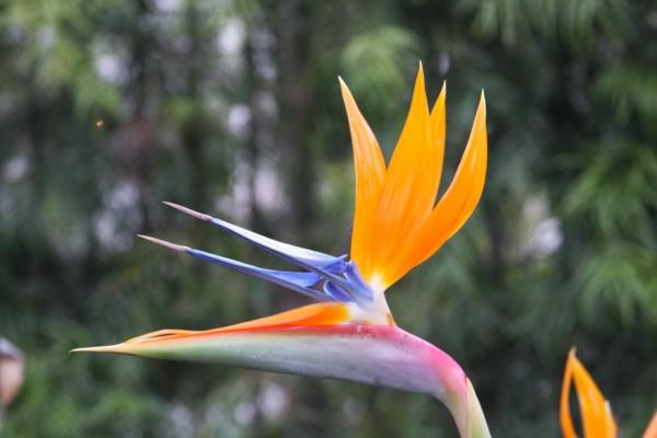 Bella flor ave del paraiso
