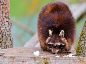 Postal: Un mapache comiendo