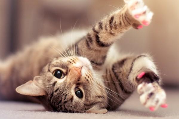 Gato con las uñas rosas