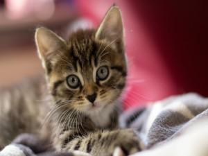 Linda mirada de un pequeño gato