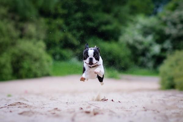 Pequeño perro saltando al correr