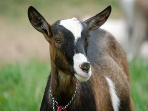 Una cabra con manchas blancas