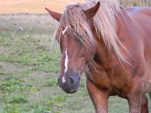 Postal: Un caballo marrón con larga melena