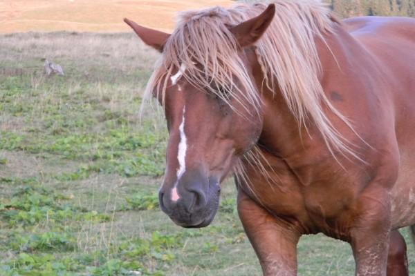 Un caballo marrón con larga melena