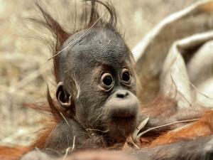 Un orangután bebé