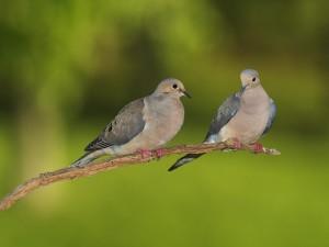 Postal: Un par de palomas en una rama
